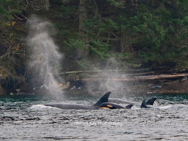Biggs Killer Whale Family in Active Pass