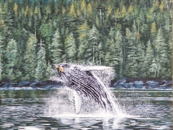 """Humpback """"Divider"""" Breaching in Whale Channel"""